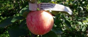 яблоня Юбиляр